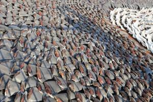 masacre tiburon